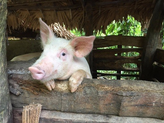 One Little Pig in The Philippines